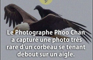 Citation courte : Le Photographe Phoo Chan a capturé une photo très rare d'un corbeau se tenant debo...