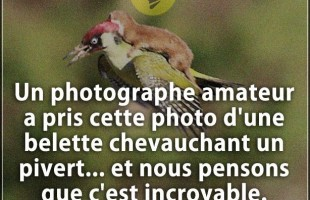 Citation incroyable : Un photographe amateur a pris cette photo d'une belette chevauchant un pivert…...