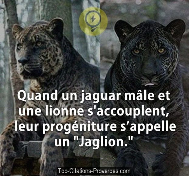 quand un jaguar m le et une lionne s accouplent leur prog niture s appelle un jaglion. Black Bedroom Furniture Sets. Home Design Ideas